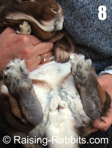 Sexing rabbits - adult buck