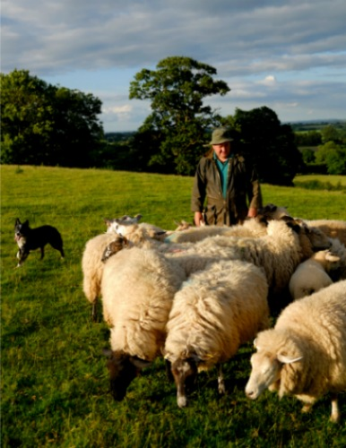 English shepherd with his dog and sheep