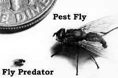 Spalding's Fly Predators compared to a regular housefly