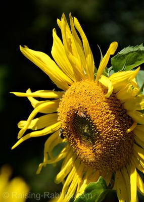 Black Oil Sunflower Bloom in August