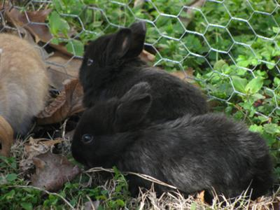 2 black bunnies